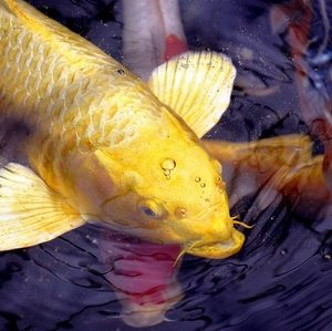 Factors influencing koi fish metabolism and diet next for Next day koi