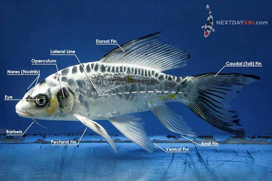 Fish Anatomy Diagram Koi Anatomy Diagram External - Wire Data Schema •