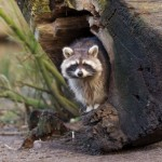 A Raccoon can be a danger to your koi pond