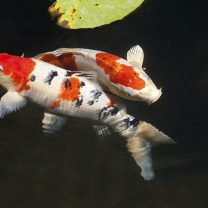 Two Sanke koi fish swimming together in a pond