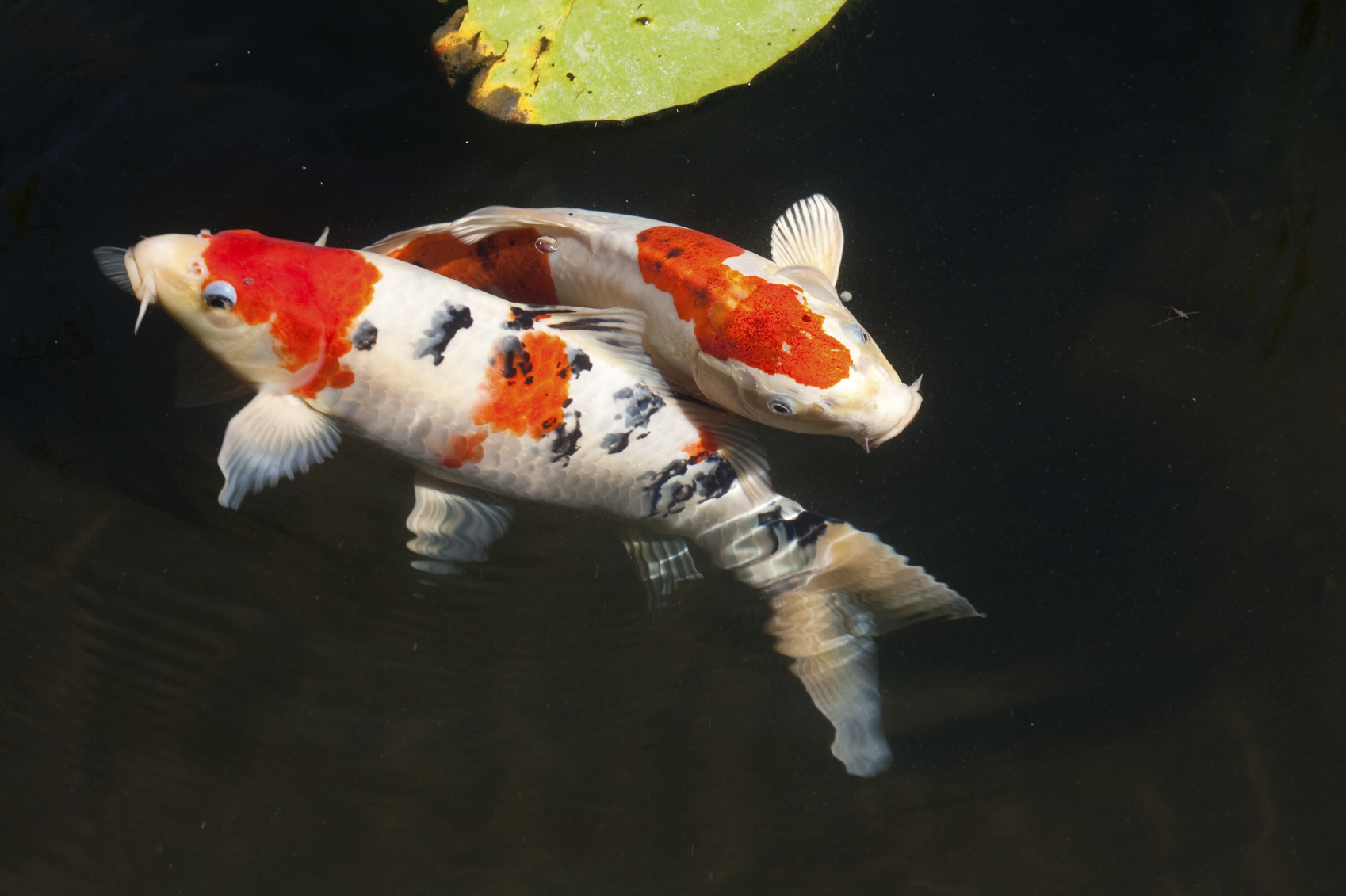 Putting your koi under the microscope next day koi for Koi carp fish information