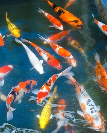 Costia and koi fish next day koi for Koi carp fish information