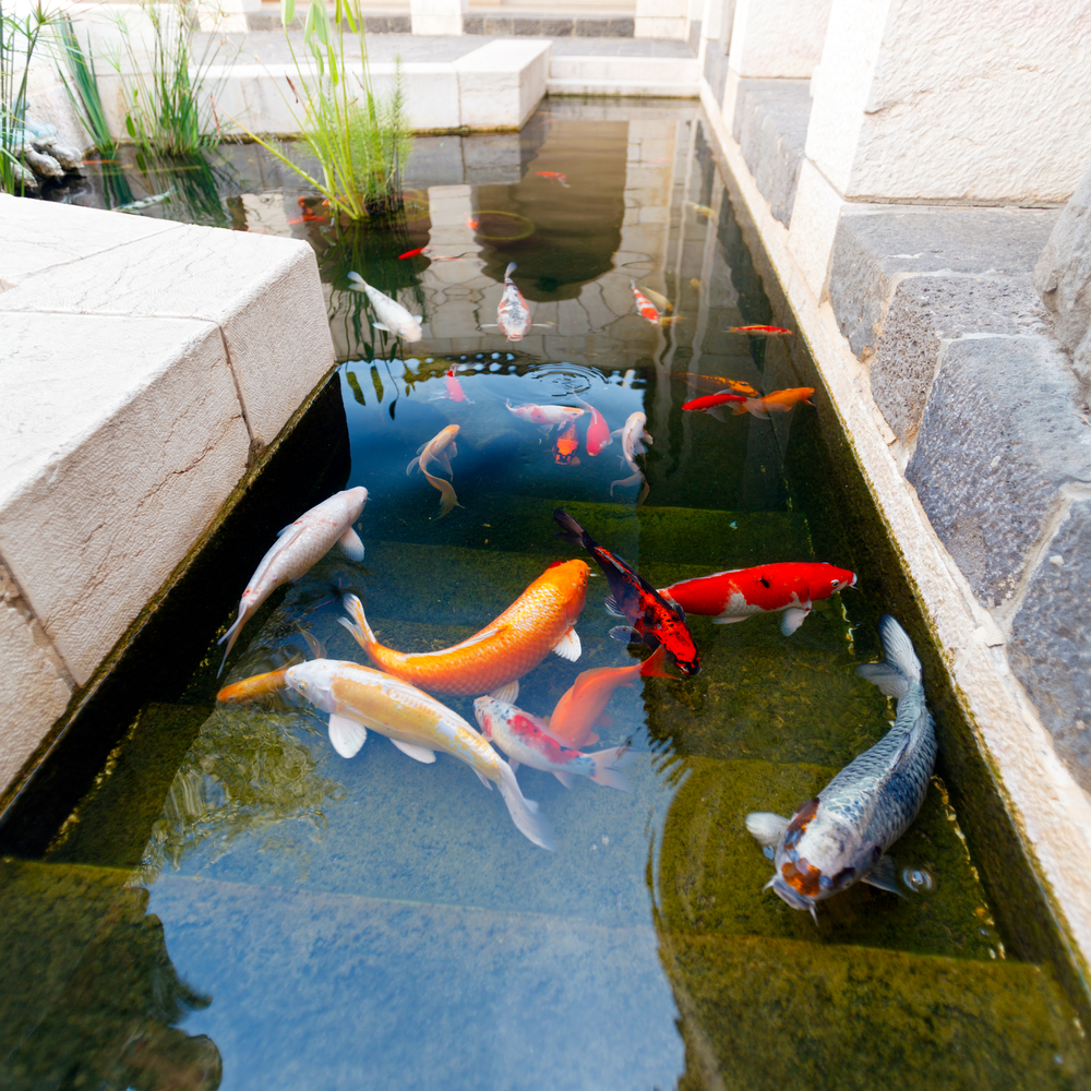 Beat the heat shipping koi during the summer next day koi for Concrete fish pond construction and design