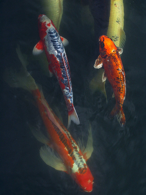 Pond mates for your koi next day koi for Koi pond temperature