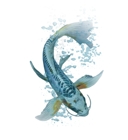 Next day koi koi fish for sale for Pictures of coy fish