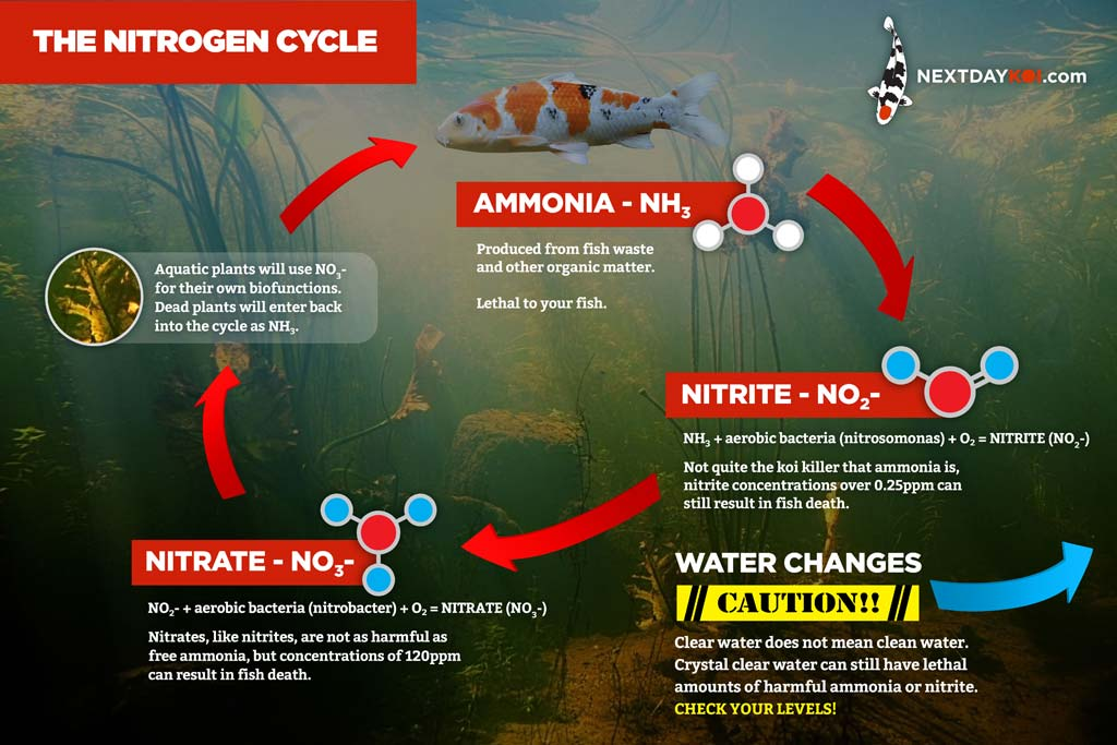 Water quality and the nitrogen cycle in your koi pond for Koi pond water quality