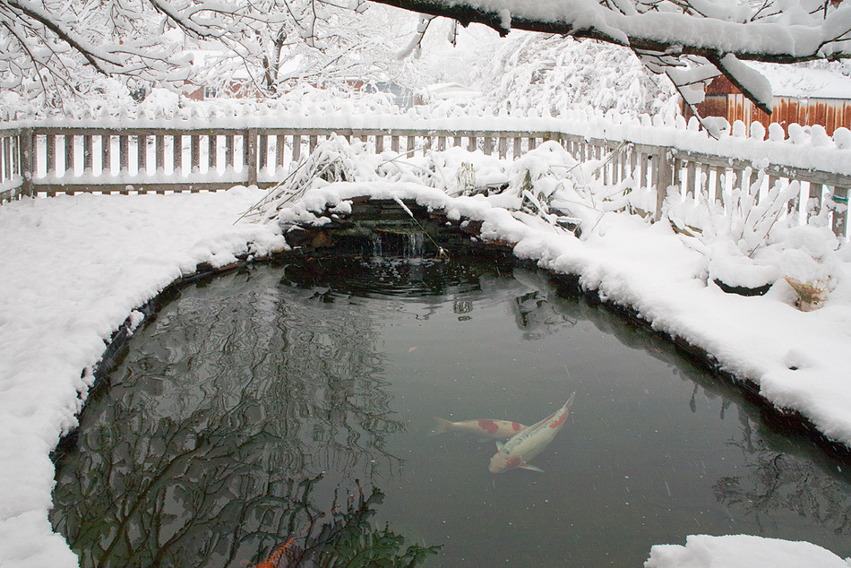 Moving koi indoors overwintering inside next day koi for Koi pond temperature winter