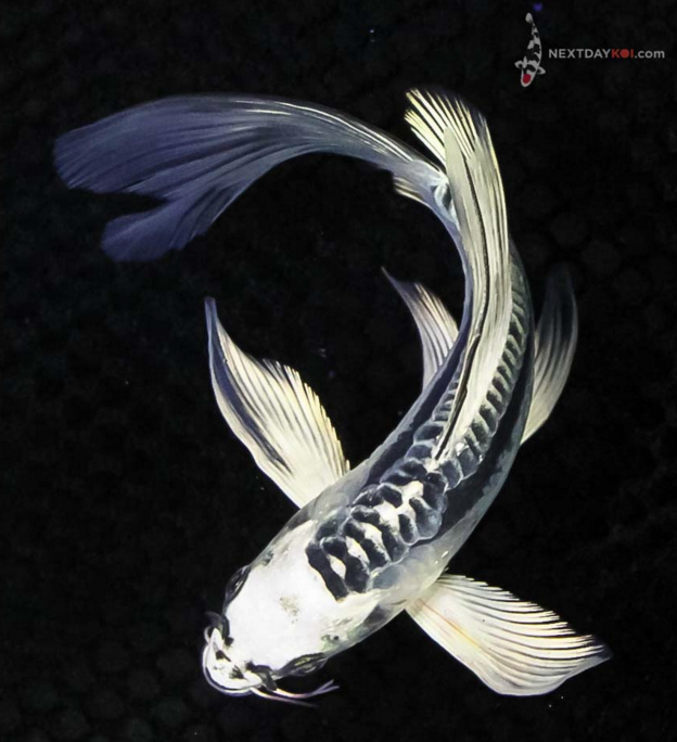 Cold buy purchasing your koi in the winter next day koi for Purchase koi fish