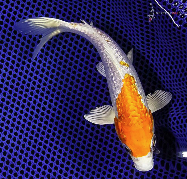 Safekeeping living jewels the importance of biosecurity for Koi fish value