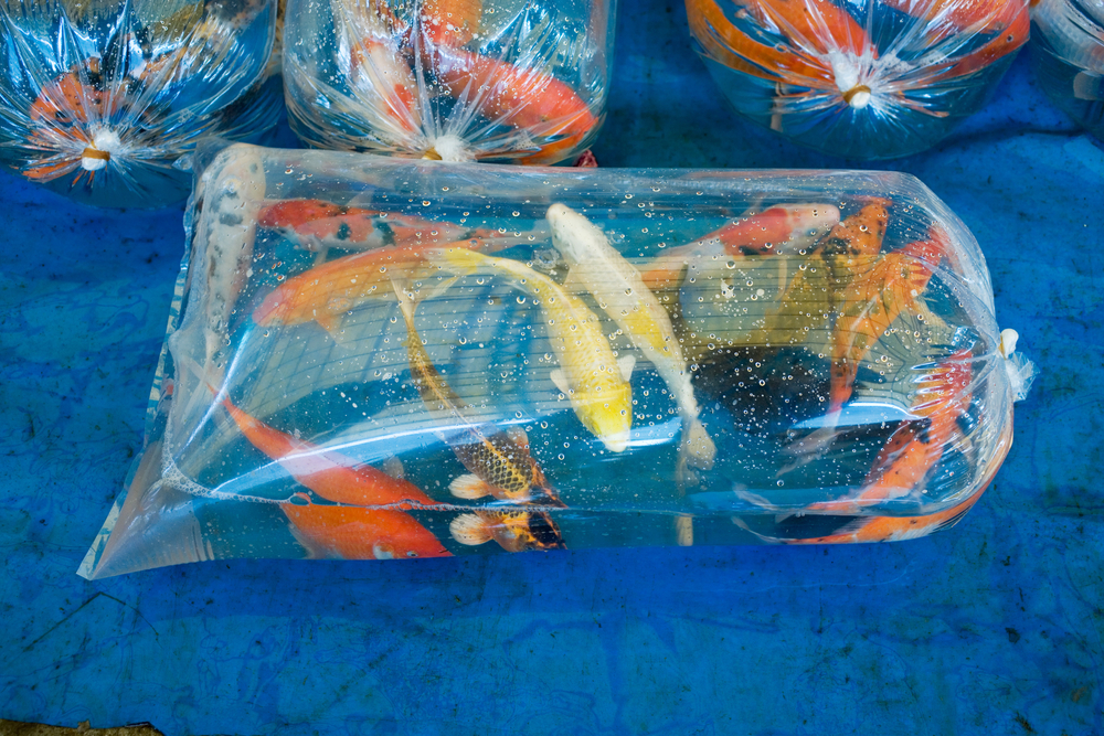 5 steps to acclimating your koi to pond life next day koi for Poly fish pond