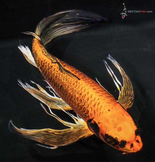 Butterfly koi a fin of beauty next day koi for Koi carp fish information