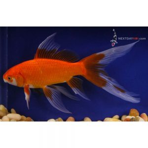 "One 5 to 6"" Veiltail Red Comet"