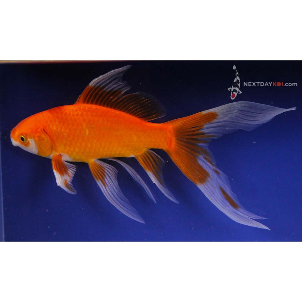 One 5 to 6 red comet koi fish for sale for Pond stocking fish for sale