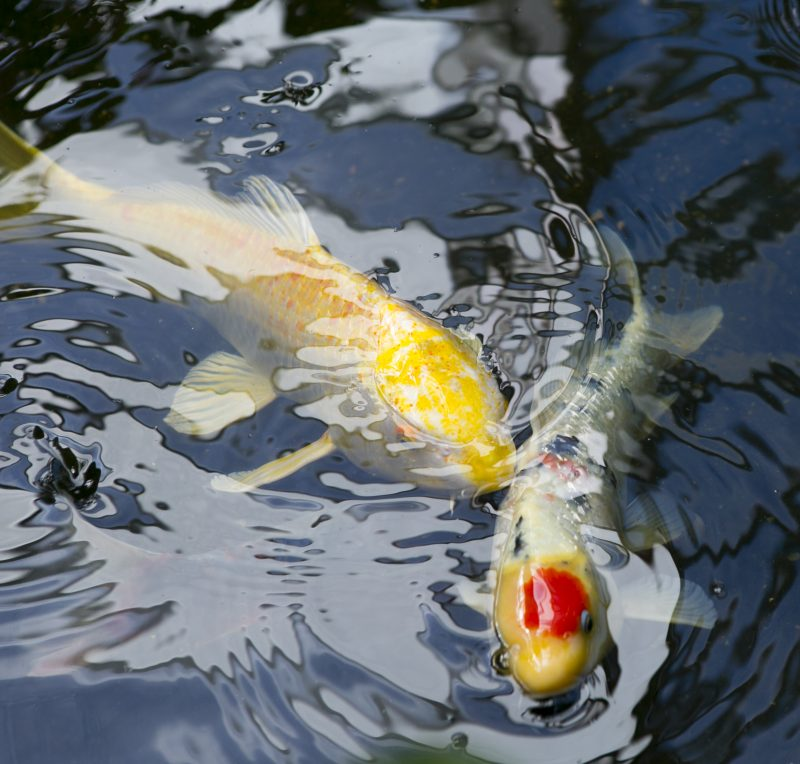 Koi Spawning Next Day Koi