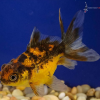 Baby Calico Pearlscale Goldfish
