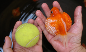 Pearlscale Fancy Goldfish being compared to tennis ball