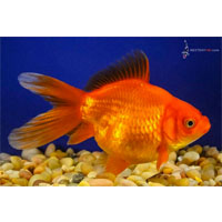 Red Sabao Fancy Goldfish