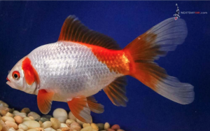 "6"" Red and white Sabao fancy goldfish"