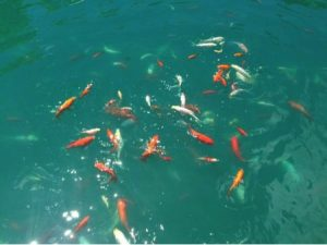numerous colorful koi swimming in blue water