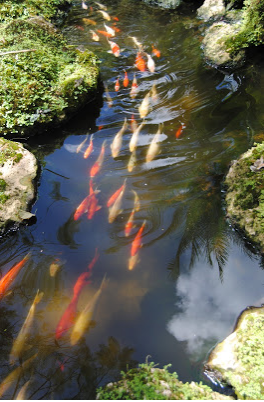 Koi swimming in a school together