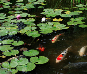 Koi fish swimming under a lily pad