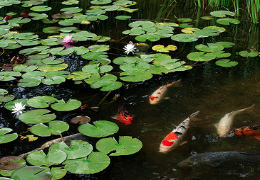 Buying and Selling Koi: A Cautionary Tale