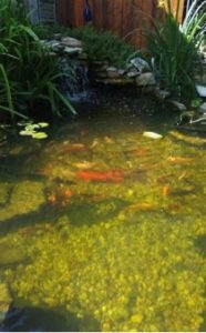 blurry picture of koi in a pond