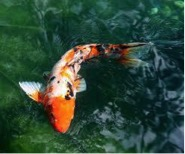 Gorgeous sanke koi in clear blue water