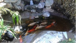 Lots of koi in small pond