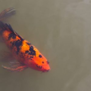 Koi in a mud pond