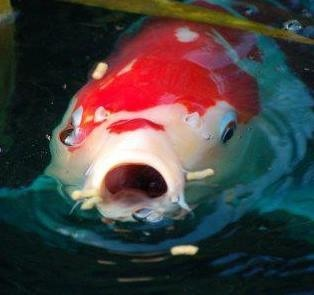 Aeromonas the alley and dealing with them both in your for Ph for koi fish