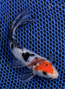 Showa koi fish slashed