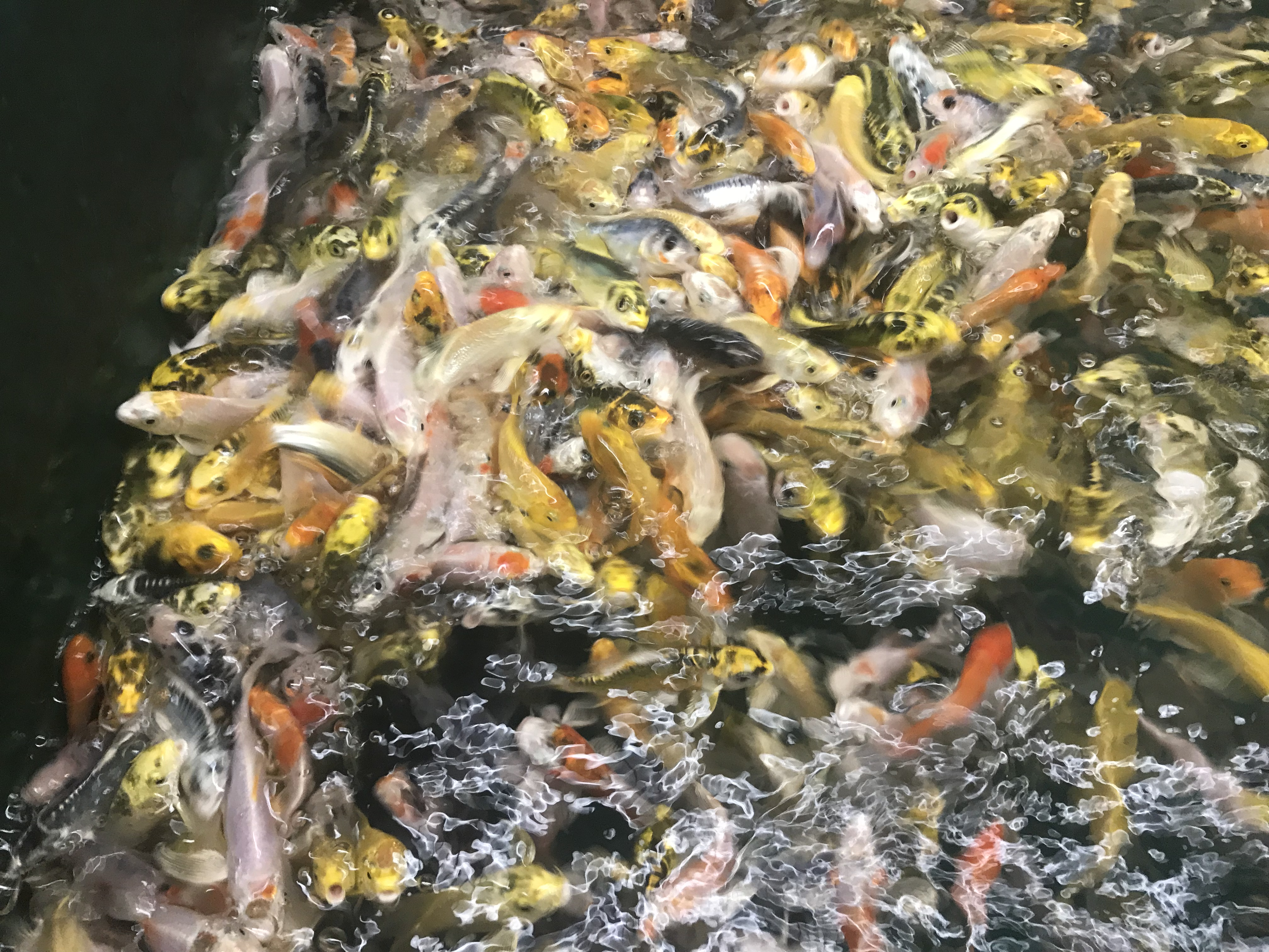 Stocking density how much is too much next day koi for How much is a koi fish