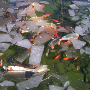 Koi pond with floating ice and koi swimming