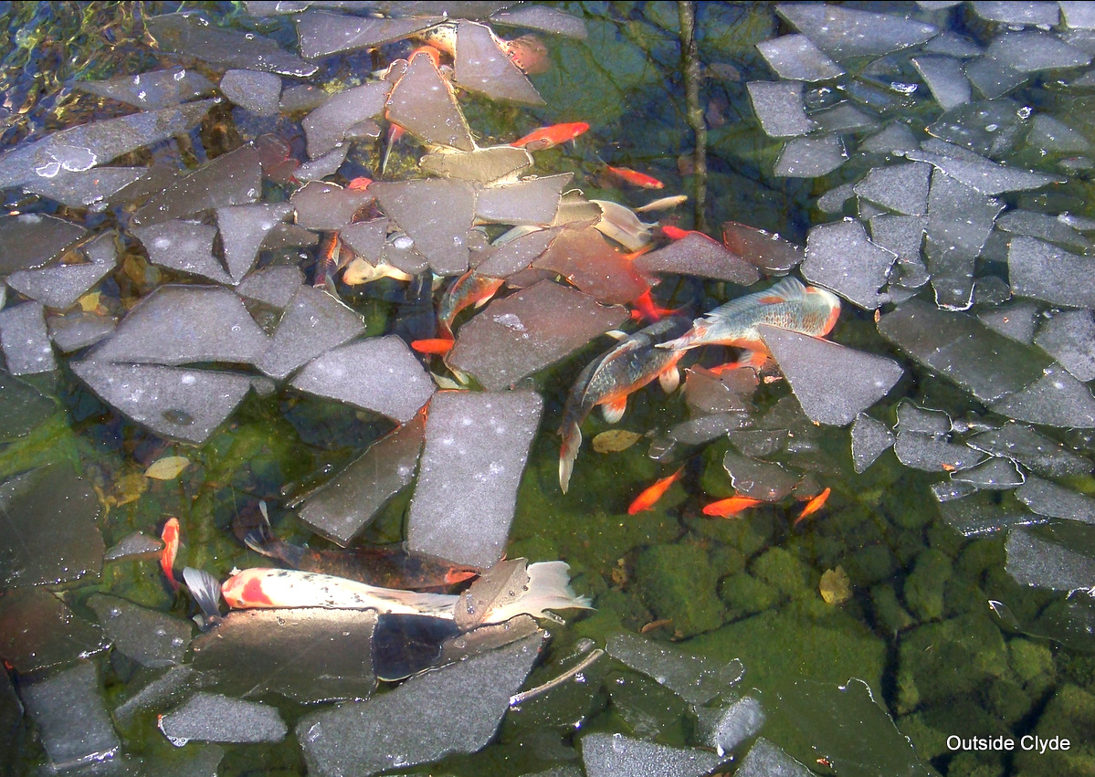 Your koi koi pond and springing back to life next day koi for Koi pond pics