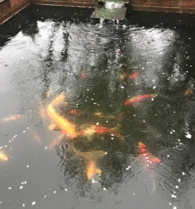 Rain falling on a koi pond