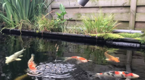 Automatic feeder above a koi pond