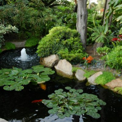 Koi in pond in Meditation garden