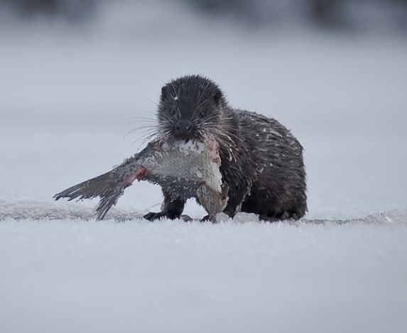 Otter in the snow with fish in its mouth