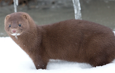 Mink in the Snow