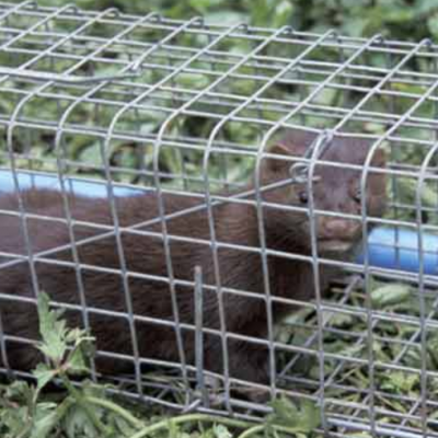 Mink caught in a trap