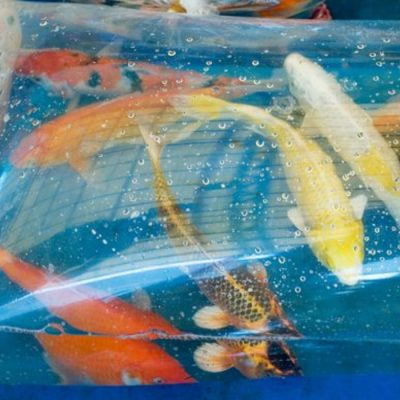 koi being introduced to new home in floating bag