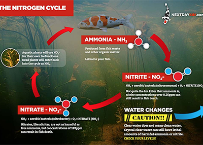 Nitrogen Cycle in a koi pond