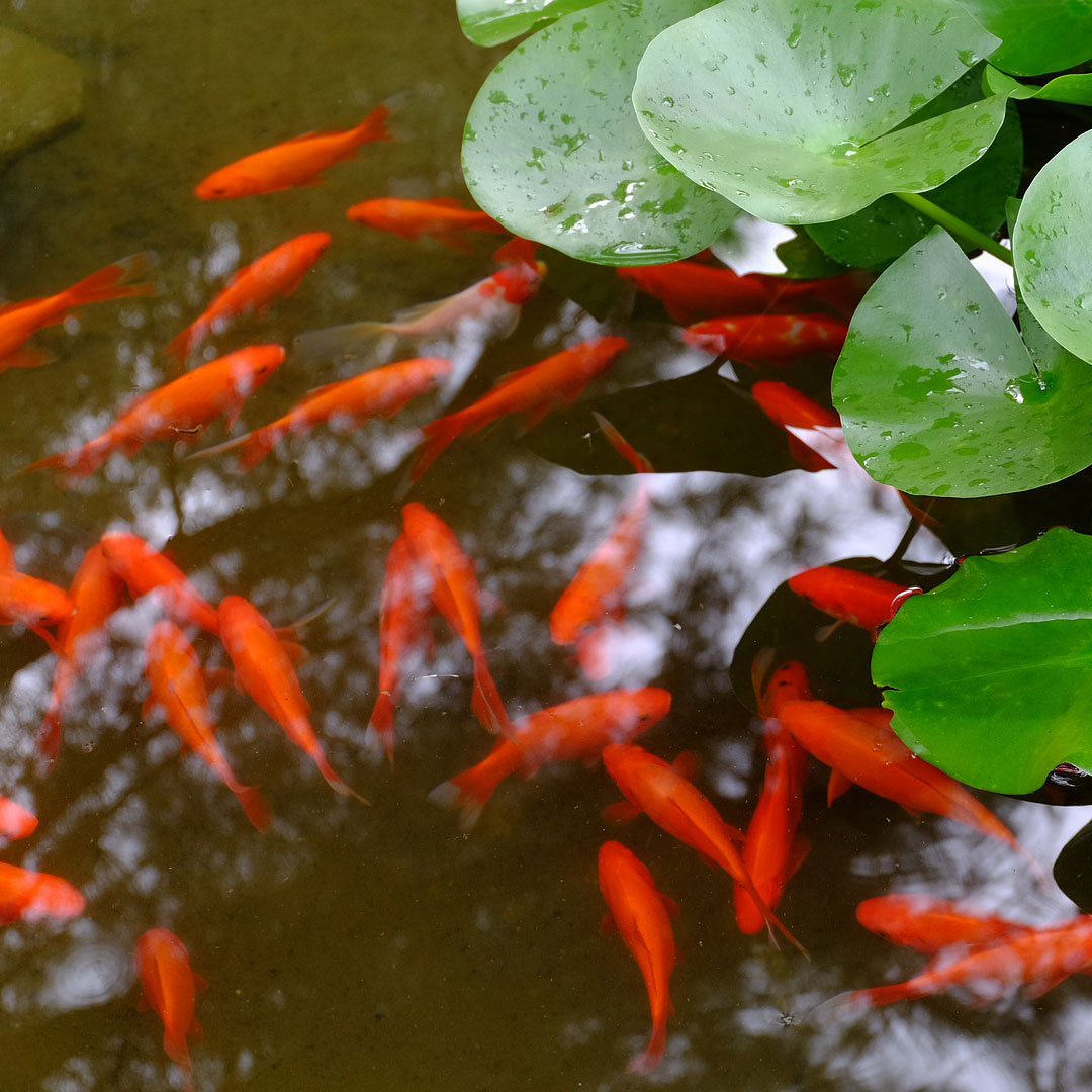 Comprehensive Guide To Goldfish Diseases Next Day Koi